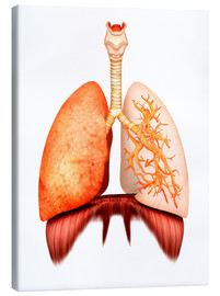 Canvas  Anatomy of human respiratory system, front view. - Stocktrek Images