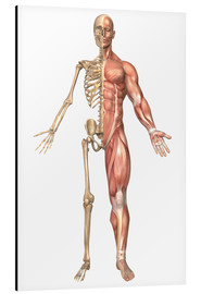 Aluminium print  The human skeleton and muscular system, front view - Stocktrek Images