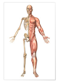 Premium poster The human skeleton and muscular system, front view