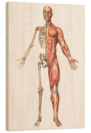 Wood print  The human skeleton and muscular system, front view - Stocktrek Images