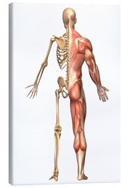 Canvas  The human skeleton and muscular system, back view. - Stocktrek Images