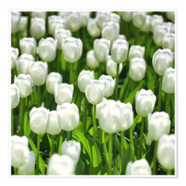 Premium poster Meadow of tulips