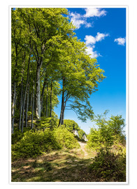 Premium poster Coastal forest on the island Ruegen in Germany