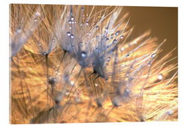 Acrylic print  Dandelions Magic Light - Julia Delgado