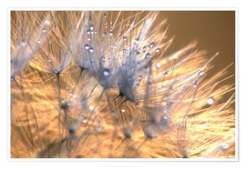 Premium poster Dandelions Magic Light