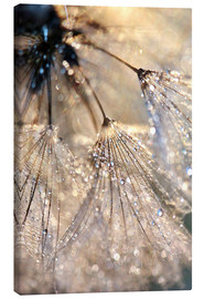 Canvas print  Dew on a dandelion - Julia Delgado