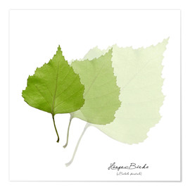 Premium poster  Collage with leaves of the birch - Christian Müringer