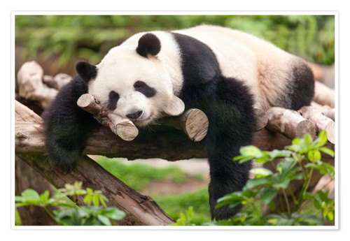 Giant Panda Sleeping Posters And Prints Posterlounge Com