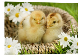 Acrylic print  Chicks in a basket - Greg Cuddiford
