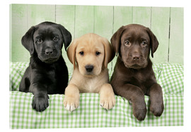 Acrylic print  Three Labradors - Greg Cuddiford