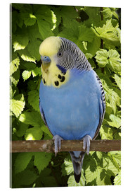 Acrylic print  Budgie on branch - Greg Cuddiford