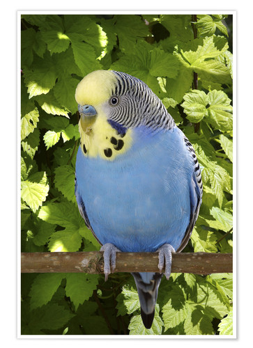 Premium poster Budgie on branch