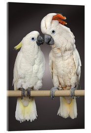 Acrylic print  Cockatoo love - Greg Cuddiford