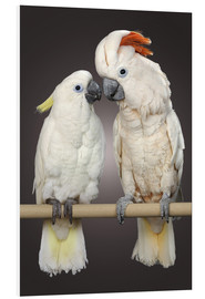 Foam board print  Cockatoo love - Greg Cuddiford