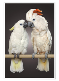 Poster  Cockatoo love - Greg Cuddiford