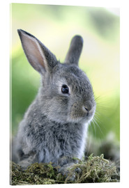 Acrylic print  Grey rabbit - Greg Cuddiford
