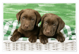 Premium poster Chocolate Labrador puppies