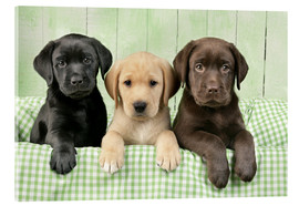 Acrylic glass  Labrador puppies - Greg Cuddiford