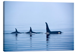 Canvas print  Three Killer whales with huge dorsal fins - Jürgen Ritterbach