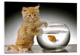 Acrylic print  Ginger cat and fishbowl - Greg Cuddiford