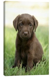 Canvas  Labrador pup on grass - Greg Cuddiford