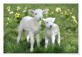 Premium poster  Easter lambs - Greg Cuddiford