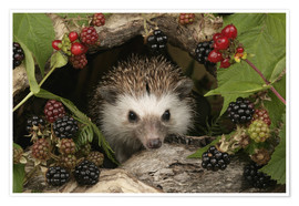 Premium poster  Hedgehog and blackberries - Greg Cuddiford