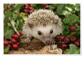 Premium poster  Hedgehog with berries - Greg Cuddiford