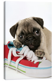 Canvas print  Pug pup and shoe - Greg Cuddiford