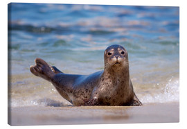 Canvas print  Seal on the beach of San Diego - Christopher Talbot Frank