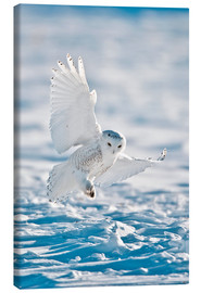 Canvas print  Snowy owl on landing - Bernie Friel