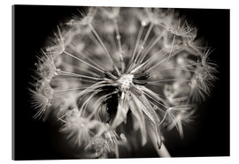 Acrylic print  Dandelion modern black and white - Julia Delgado