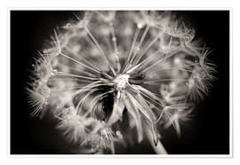 Premium poster  Dandelion modern black and white - Julia Delgado