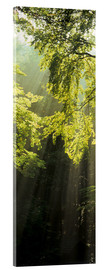 Acrylic print  Sunbeams in a forest - Markus Lange