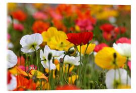 Acrylic print  Colorful poopies at Government Gardens (new Zealand) - Christian Müringer
