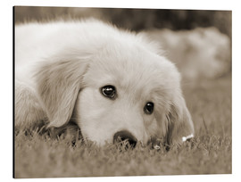 Aluminium print  Golden Retriever cute puppy, monochrom - Katho Menden