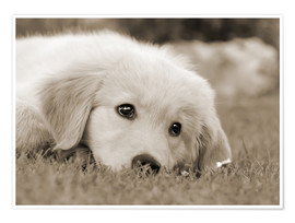 Premium poster  Golden Retriever cute puppy, monochrom - Katho Menden