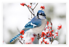 Poster  Blue Jay on Winterberry branch - Richard and Susan Day