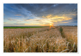 Premium poster Summer sunset in a cornfield