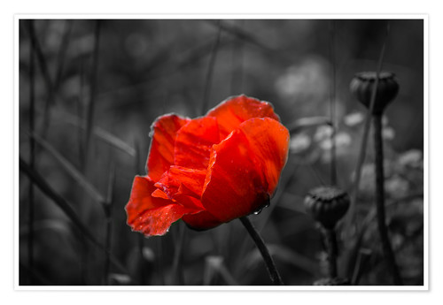 Premium poster Red poppy on black and white background