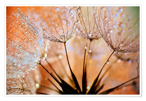 Premium poster Dandelion orange light