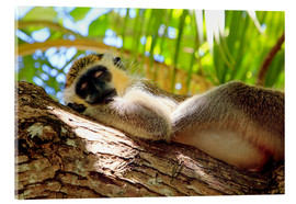 Acrylic print  Green monkey sleeping, Barbados - Matteo Colombo