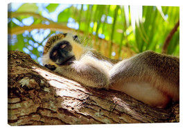 Canvas print  Green monkey sleeping, Barbados - Matteo Colombo