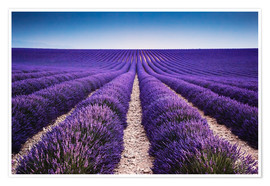 Premium poster  Lavender field in Provence - Matteo Colombo