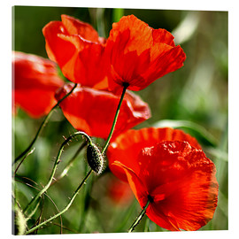 Acrylic print  Luminous poppy on meadow - Dirk Driesen