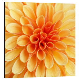 Aluminium print  Yellow Dahlia - Martina Cross