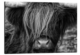 Aluminium print  Scottish Highland Cattle - Martina Cross