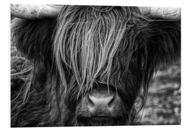Foam board print  Scottish Highland Cattle - Martina Cross