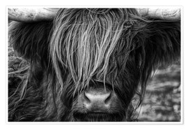 Poster  Scottish Highland Cattle - Martina Cross