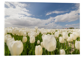 Acrylic print  White tulip fields - George Pachantouris